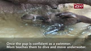 Video Wednesday — Otter Pups Swim Lesson