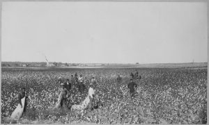 Oklahoma Cotton Field, c. 1897 National Archives & Records Administration public domain